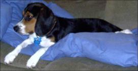 the Stupid Beagle