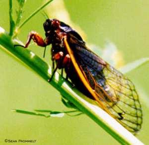 Periodic cicada