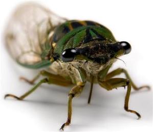 Typical cicada