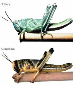 Desert Grasshopper top; Locust form bottom