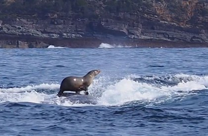 Seal on Humpback