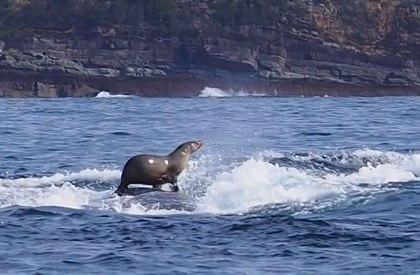 Seal on Humpback
