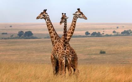 CerberusGiraffe