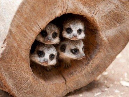 freakinmeerkats